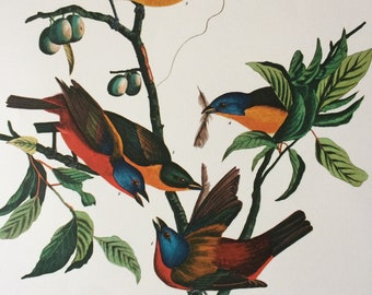 19201a1a31b PAINTED FINCH Large Original Vintage 1964 Audubon Print