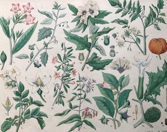 1880 Large Original Antique Botanical Lithograph - Botanical Print - Botany - Plants - Botanical Art - Wall Decor - Boxthorn - Solanum