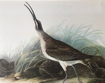 1937 Whimbrel Original Vintage Audubon Print - Mounted and Matted - Available Framed - Bird Art - Vintage Decor, Ornithology