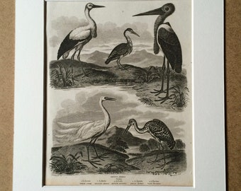1819 Original Antique Engraving - White Stork, Heron, Bittern, Egret, Tiger Bittern - Grallae - Bird Art - Available Matted and Framed
