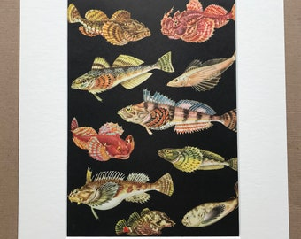 1968 Original Vintage Print - Mounted and Matted - Marine Decor - Fish - Available Framed