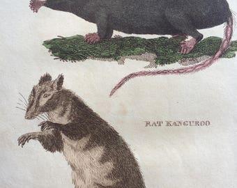 1811 Original Antique Hand-Coloured Engraving - Radiated Shrew and Rat Kangaroo - Wildlife - Wall Decor - Zoology - Decorative Art