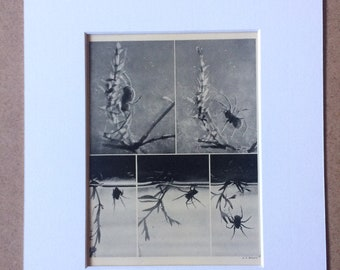 1940s Studies of the Habits of the Water Spider Sepia photo Original Vintage Print - Mounted and Matted - Insect - Available Framed