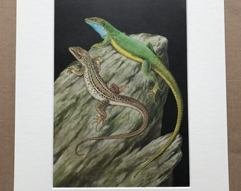 1968 Original Vintage Print - Mounted and Matted - European Green Lizard - Reptile Art - Available Framed