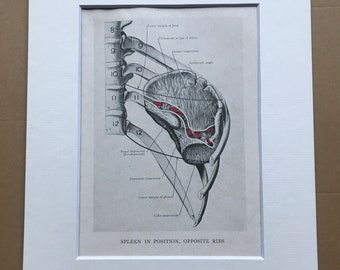 1942 Spleen in Position, opposite Ribs Original Vintage Print - Organ- Anatomy - Medical Decor - Biology - Available Framed