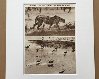 1940s Hunter and Hunted of the African Wilds Original Vintage Print - Cheetah and Waterbuck - Mounted and Matted - Available Framed