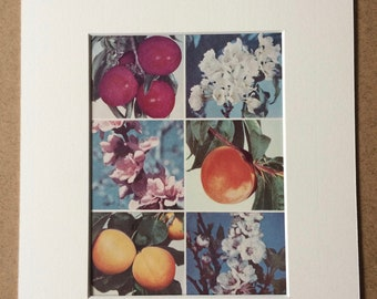 1940s Fruit Original Vintage Print - Plum, Peach and Apricot - Kitchen Decor - Mounted and Matted - Available Framed