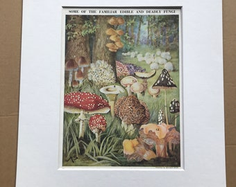 1940s Some of the Familiar Edible and Deadly Fungi Original Vintage Print - Mounted and Matted - Mushroom - Mycology - Available Framed