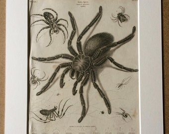 1819 Spider Original Antique Engraving showing positions of eyes in different spiders - Available Mounted and Matted - Arachnida - Insect
