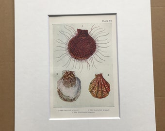 1920 Scallops Original Antique Print - Mounted and Matted - Available Framed - Sea Shell - Ocean Decor