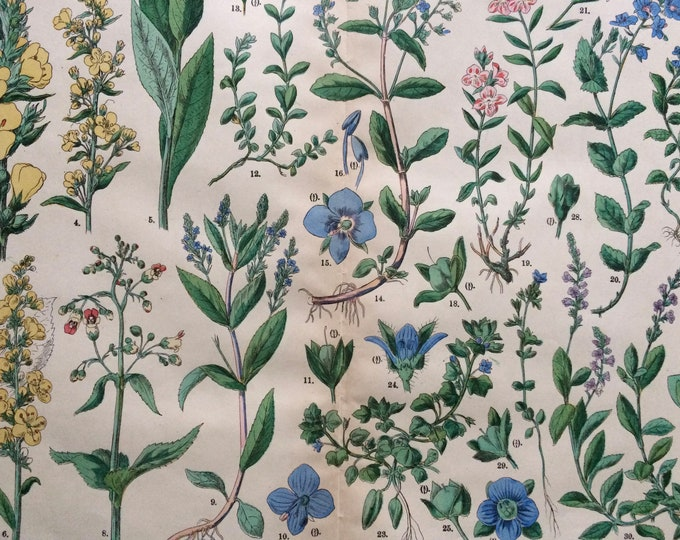 Featured listing image: 1890 Large Original Antique Botanical Lithograph - Botanical Print - Botany - Plants - Botanical Art - Wall Decor - Speedwell - Mullein