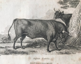 1809 Sussex Cattle Original Antique Engraving - Natural History - Cow - Cattle - Available Matted and Framed