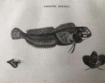 1812 Smooth Blenny Original Antique Engraving - Ichthyology - Fish Art - Fishing Cabin Decor - Available Framed