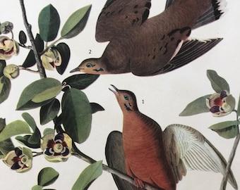 1937 Zenaida Dove Original Vintage Audubon Print - Mounted and Matted - Available Framed - Bird Art - Vintage Decor, Ornithology