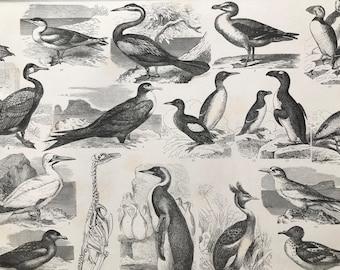 1869 Birds - Zoology Large Original Antique Illustration - Ornithology - Albatross, Pelican, Tropic Bird, Skua, Penguin - Mounted and Matted