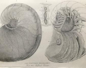 1858 Original Antique Engraving - Nautilus Hexagonus from the Oxford Oolite - Geology - Fossil - Palaeontology