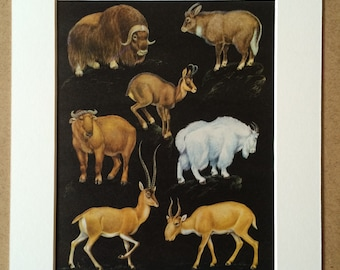 1968 Original Vintage Print - Mounted and Matted - Muskox, Himalayan Goral, Chamois, Takin, Mountain Goat, Antelope - Available Framed