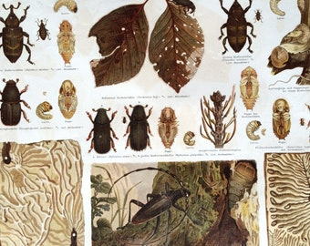 1890 Beetles Large Original Antique Lithograph - Available Mounted and Matted - Antique Insect Art - Entomology