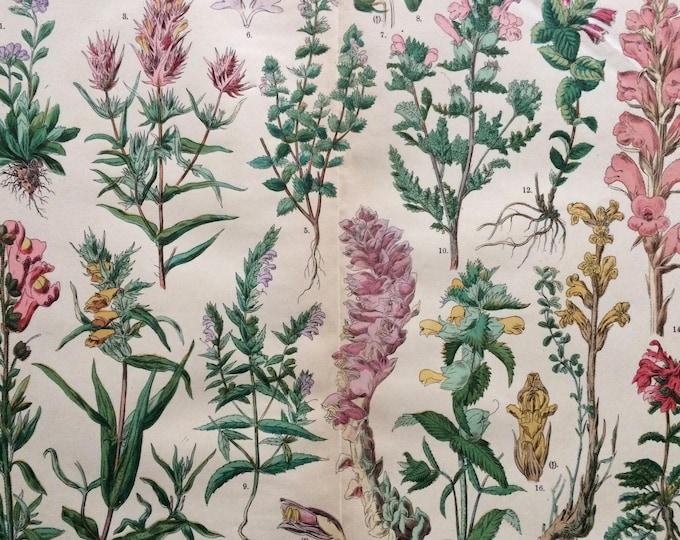 Featured listing image: 1890 Large Original Antique Botanical Lithograph - Botanical Print - Botany - Plants - Botanical Art - Wall Decor - Toothwort - Broomrape