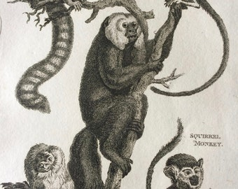 1800 Striated, Red-Tailed, Silky, Squirrel and Fox-Tailed Monkeys Original Antique Engraving - Wildlife - Zoology - Natural History