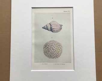 1920 The Whelk and Eggs of the Whelk Original Antique Print - Mounted and Matted - Available Framed - Sea Shell - Ichthyology