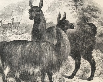 c.1860 Original Antique Print - Llamas - Wildlife - Natural History - Mounted and Matted - Available Framed