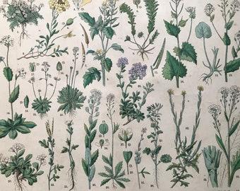 1880 Large Original Antique Botanical Lithograph - Botanical Print - Botany - Plants - Botanical Art - Wall Decor - Herbs - Hedge Mustard