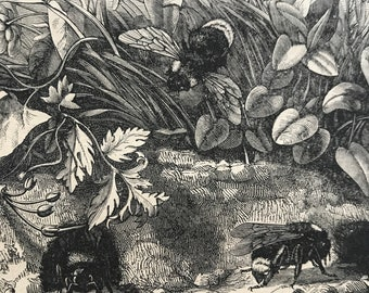 1896 Apathus Vestalis Original Antique Print - Bumblebee - Entomology - Insect - Mounted and Matted - Available Framed