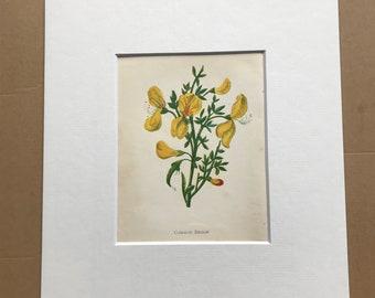 1852 Original Antique Hand-Coloured Anne Pratt Botanical Illustration - Common Broom - Botany - Garden - Available Framed