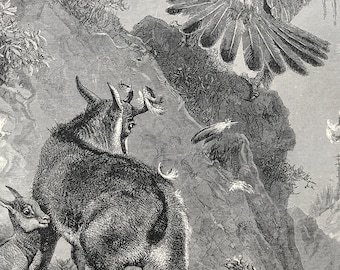 1893 Chamois at bay Original Antique Print - Wildlife - Natural History - Animal Art - Mounted and Matted - Available Framed