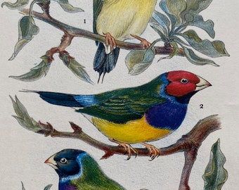 1956 Red and Black-Headed Gouldian Finch Original Vintage Print - Ornithology - Bird Art - Mounted and Matted - Available Framed