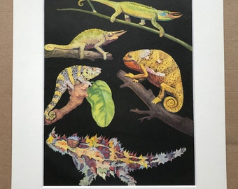 1968 Chameleon Species and Thorny Devil Lizard Original Vintage Print - Reptile Art - Mounted and Matted - Available Framed