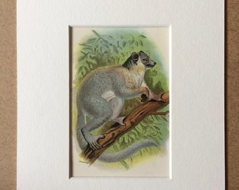 1896 White-Footed Sportive Lemur Original Antique Chromolithograph - Wildlife - Natural History - Mounted and Matted - Available Framed