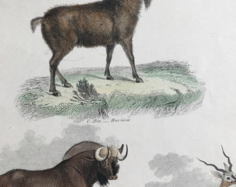 1862 Ibex Goat, Pigmy Antelope, Gnu and Common Antelope Original Antique Hand Coloured Engraving - Available Mounted, Matted and Framed