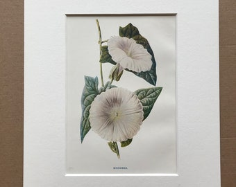 1878 Bindweed Original Antique Botanical Lithograph - Botany - Wild Flower - Wall Decor  - Home Decor - Available Framed