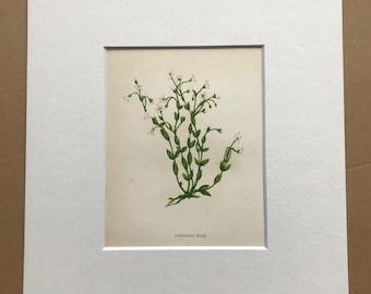 1852 Original Antique Hand-Coloured Anne Pratt Botanical Illustration - Cathartic Flax - Flower - Botany - Garden - Available Framed