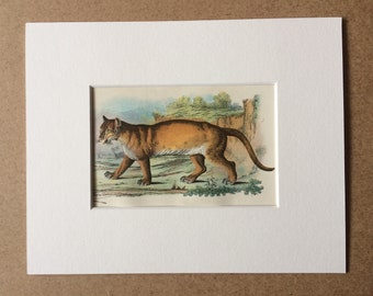 1896 Puma Original Antique Chromolithograph - Wildlife - Natural History - Mounted and Matted - Available Framed