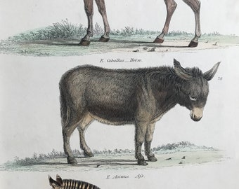 1862 Horse, Ass and Zebra Original Antique Hand Coloured Engraving - Available Mounted, Matted and Framed - Wildlife