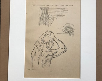 1949 The Muscles of the Jaw and Nape of the Neck Original Vintage Print - Anatomy - Medical Decor - Mounted and Matted - Available Framed