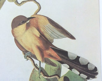Mangrove cuckoo Original Vintage 1966 Audubon Print, Matted and Available Framed 14 x 11 inches, Bird Decor, Ornithology
