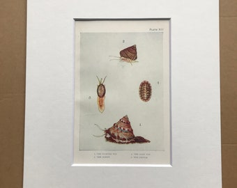 1920 Painted Top, Cowry, Chiton, Grey Top Original Antique Print - Mounted and Matted - Available Framed - Sea Shell - Ocean Decor