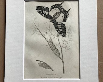 1809 Machaon or Swallow Tailed Butterfly Original Antique Engraving - Natural History - Zoological Art - Available Matted and Framed
