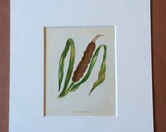 1852 Original Antique Hand-Coloured Anne Pratt Botanical Illustration - Great Reedmace - Flower - Botany - Garden - Available Framed