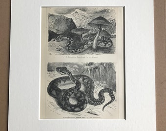 1897 Snakes Original Antique Lithograph - Mounted and Matted - Pit Viper - European Adder - Wildlife - Vintage - Available Framed