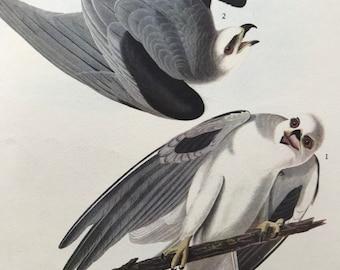 1937 White-Tailed Kite Original Vintage Audubon Print - Mounted and Matted - Available Framed - Bird Art - Ornithology