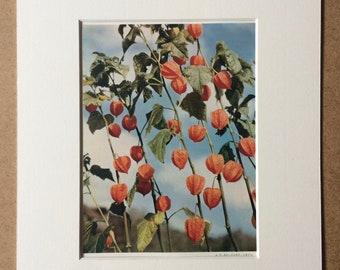 1940s Chinese Lanterns Original Vintage Print - Mounted and Matted - Botanical Art - Botany - Plant - Available Framed