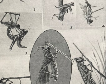1940s How the Grasshopper gets its wings Original Vintage Print - Mounted and Matted - Insect Art - Available Framed