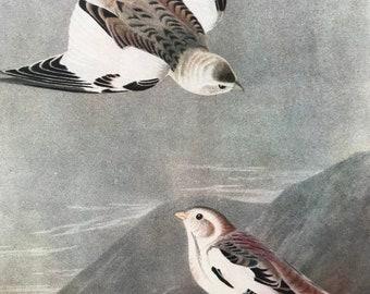 1937 Snow Bunting Original Vintage Audubon Print - Mounted and Matted - Available Framed - Bird Art - Ornithology
