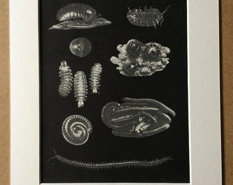 1968 Original Vintage Insect Print - millipede species - Available Framed - 14 x 11 inches - Entomology - Natural History