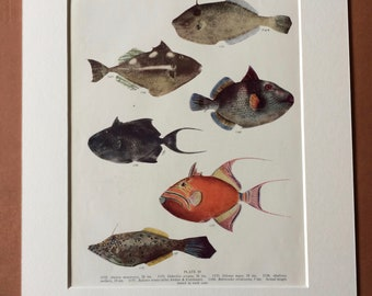 1950 Original Vintage Fish Print - Mounted and Matted - Available Framed - Tropical Fish - Marine Species - Sealife - Ocean Decor